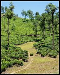Paralai estate (Indianature st2i) Tags: valparai anamalais anamallais tamilnadu westernghats tea teaestate wildlife indianature india nature 2016 2017