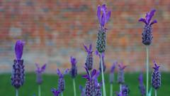 Lavender (RobMacPhotography) Tags: flora flower hobart tasmania australia royal botanic gardens purple wildflower brick wall plant violet lavender sony a6000 outdoors rob mac photography