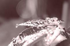 drops (peter pirker) Tags: red bw macro tree rot water canon austria sterreich drops wasser krnten carinthia makro baum tropfen ahorn peterfoto eos550d peterpirker