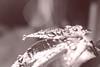 drops (peter pirker) Tags: red bw macro tree rot water canon austria österreich drops wasser kärnten carinthia makro baum tropfen ahorn peterfoto eos550d peterpirker