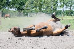 Giovanni zandbad (janetvdh) Tags: horses horse animals paard paarden