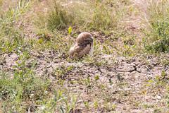 A Burrowing Owl owlet takes a nap
