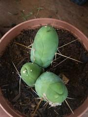 Glacous TBM (Last cretin) Tags: cacti tbm trichocereus monstrose bridgesii peniscacti