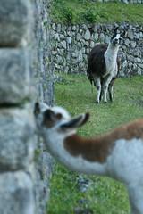 Peru-8662.jpg (Matt and Debbie) Tags: peru llama 2015 wayna winaywayna wiay