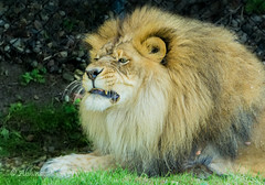 Angry King!! (@bhin@v25) Tags: africa park wild usa cats como minnesota st cat paul zoo big dangerous feline king power african lion minneapolis social conservatory jaws simba predator ark roar lioness claws mane roaring carnivore fearless ferocious