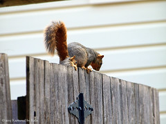 Who Knew There Was A Learning Curve For Fence Walking?  Part 7 (Kaptured by Kala) Tags: baby nature fence squirrel squirrels mama falling fallingoff babysquirrel foxsquirrel mamaandbaby garlandtexas mamasquirrel fencewalkinglessons