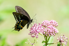 Papilio Troilus - Spicebush Swallowtail Butterfly - 4 (RGL_Photography) Tags: butterfly insect wildlife bugs monmouthcounty jerseyshore mothernature spicebushswallowtail papilionidae papiliotroilus allairestatepark allairevillage nikond610 tamronsp150600mmf563divcusd