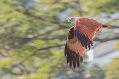 Brahminy kite (Haliastur indus) (Peter du Preez) Tags: red brahminy kite haliastur indus redbacked seaeagle malaysia kl kuala lampur birdofprey bird