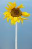Sunflower (AliciaCalafat) Tags: nature sunflower sky fly airplane plane yellow blue aircraft petal minimalist minimalism nikon amsterdam art creativity creative sun original elegant day decoration flowers light christmas new garden