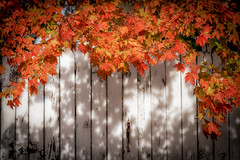 autumn covered fence (kderricotte) Tags: hff autumn leaves fence sonya6000 55210mm foliage leaf whitefence shadows tree bright serene outdoor plant texture