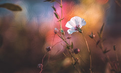 Wildflower (Dhina A) Tags: sony a7rii ilce7rm2 a7r2 heinz kilfitt munchen makro kilar 90mm f28 2x kilfittmakrokilar90mmf28 apo 16blades wildflower bokeh