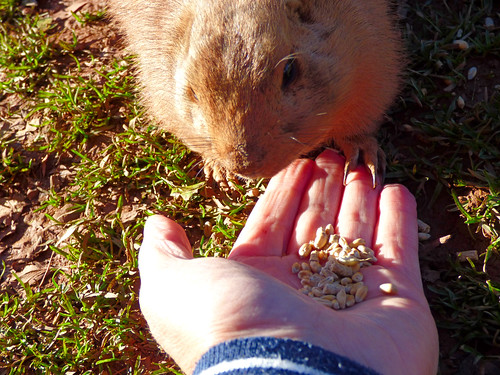 South Lakes Zoo - feeding the prairie marmots (2)