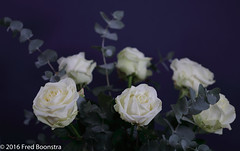 """In our livingroom, """"White Roses"""" (A.J. Boonstra) Tags: flowers indoor canon canoneos canon70d ef100mmf28lmacroisusm falconeyesskk2150d whiteroses rose roses white"""