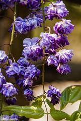 Yae Kokuryuu Wisteria at Ashikaga Flower Park (Claudine Lamothe) Tags: ashikaga flowers japan kantou places wisteria