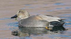 Gadwall (Anas strepera) (byjcb) Tags: birds duck reno nevada unitedstates