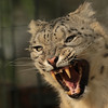snowleopard Krefeld JN6A1494 (j.a.kok) Tags: irbis snowleopard sneeuwluipaard sneeuwpanter krefeld azie asia himalaya predator mammal zoogdier cat kat