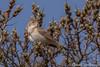 Fitis (Chantal van Breugel) Tags: texel vogels fitis duindoorn april 2016 horsmeertjes canon50d canon70300