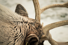 Close up (jacoblosen) Tags: caribou canon captureminnesota canonusa animals na nature wi winter minnesota minnesotaphotographers minneapolis mnzoo zoos zoo