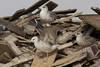 Caspian gull / Larus cachinnans / Pontische meeuw (Herman Bouman) Tags: caspiangull laruscachinnans pontischemeeuw