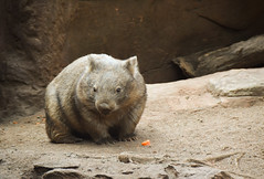 Wombat (Vombatidae) (Seventh Heaven Photography) Tags: wombat vombatidae animal marsupial mammal sydney nsw new south wales australia nikond3200