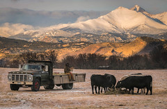 Man's Best Friend(s) - Boulder County, Colorado (www.rootsstudiophoto.com) Tags: farm ranch livestock cattle feeding truck ford agriculture longspeak bouldercounty longmont hygiene colorado cows hay rockymountains foothills morning sunrise winter cold mansbestfriend dog