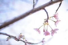 Sakura - Nikon D3s & Nikon AF-S Nikkor 24mm f/1.4G ED (TORO*) Tags: cherry blossom nikon d3s af afs nikkor 24 24mm f14g f14 14 ed tsurumi ryokuchi green park osaka japan flower sky bokeh tree blur pink blue white outdoor depth field plant