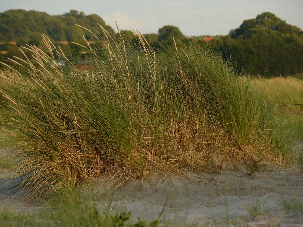 Ammophilla arenaria- Strandhafer2