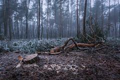 felled tree (Mario Visser) Tags: winter forrest nature cold snow ice ede nikon sigma d7100 landscape netherlands ginkelse hide hiking