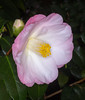 Pink Camellia (tresed47) Tags: 2017 201701jan 20170112longwoodflowers camellia canon7d chestercounty content flowers folder longwoodgardens macro pennsylvania peterscamera petersphotos places takenby technical us