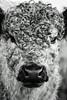 cow (claudiafreebird) Tags: cow blackwhite schwarz weiss kuh rind
