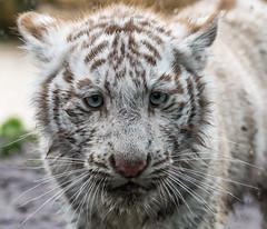 White Tiger Cub (Sandra Wildeman) Tags: portrait zoo cub nikon portrt tierpark portret tigre dierentuin tigercub wittetijger tigreblanco katachtigen whitetigercub tigreblanc d5300 zoodamneville