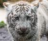 White Tiger Cub (Sandra Wildeman) Tags: portrait zoo cub nikon porträt tierpark portret tigre dierentuin tigercub wittetijger tigreblanco katachtigen whitetigercub tigreblanc d5300 zoodamneville