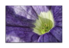fleur_net (Alaric31620) Tags: blue flower macro fleur nikon interieur pistil bleu inside 60mm nikkor dx d7000 iamnikon
