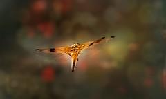 Fly away! (Delbrücker) Tags: macro nature animal insect dragonfly bokeh outdoor natur makro libelle insekt tier nikkor105mm nikond610