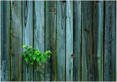 """Tenacity: The inability to say """"I quit."""" (sorrellbruce) Tags: tree nature fence fuji urbannature conflict tenacity lr6 photoninja framefun viveza fujixt1 fujinon56mm"""