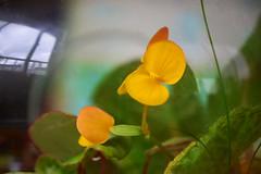 Begonia staudtii (qooh88) Tags: flower yellow stamen begonia begoniaceae terrarium      maleflower femaleflower       begoniastaudtii