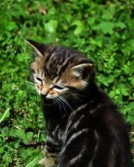 Kittens (Adventurer Dustin Holmes) Tags: cats pets cat mammal kitten feline kittens mammals domesticcat 2015 domesticcats