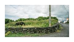 Pico, Aores (Sr. Cordeiro) Tags: road panorama horse portugal grass island nikon stitch panoramic estrada pasture pico panoramica stitching nikkor pastor cavalo v1 ilha azores aores erva 11275mm