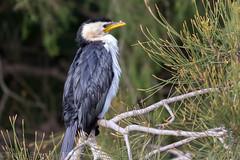 Little Pied Cormorant (Teale Britstra) Tags: wild bird nature birds wildlife australia brisbane queensland cormorant sherwood littlepiedcormorant sherwoodarboretum