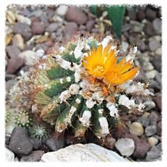 Rawlings Conservatory ~ cactus blossom (karma (Karen)) Tags: cactus texture rocks dof bokeh blossoms maryland baltimore squared succulents deserthouse htt druidhillpark urbanparks rawlingsconservatory cmwdorange