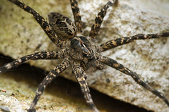Wolf sideways (ScottDKP) Tags: nature insect spider arachnid arachnids