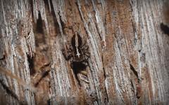 Jotus 'stripey' (dustaway) Tags: arachnida araneomorphae araneae salticidae euophryinae jotus jumpingspiders spideronbark tullera northernrivers nsw australia nature australianspiders jotusstripey tullerapark spinne stripeybarkeuophryine littlestripey lycidasstripey