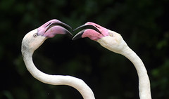 Flamingo (floridapfe) Tags: two animal zoo fight pair flamingo korea everland