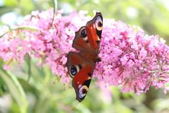 Schmetterling (stevew1der) Tags: orange butterfly sommer lila falter sonne ling sb bltenbltter schmetterling pracht flieder blhen bltenstaub
