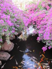 Fish pond lined with Bougainvillea (carina.ericsson) Tags: fish flower amman jordan