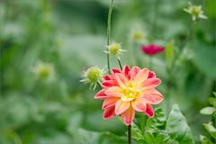 Dahlia (joeldinda) Tags: dahlia flower garden raw d300 joeldinda 149365