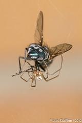 Linyphia triangularis (Clerck, 1757) (Lus Gaifm) Tags: macro spider natureza spinne araa pk spindel araigne ragno aranha voras fo pajk edderkop  hmhkki    rmcek   kngul mblik zirneklis commonhammockweaver lusgaifm pnlitoralnorte