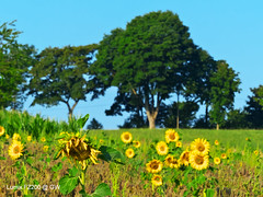 Sonnenblumen (GerWi) Tags: blossom blumen bltter sonnenblume blten sonnenblumen