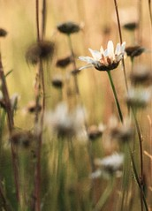 ..paint me a memory to last me the day... (dawn.tranter) Tags: sliderssunday daisies eveninglight meadow flowers painting grain dawntranter