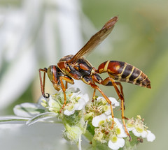 Paper Wasp. (tresed47) Tags: 2016 201608aug 20160820springtonmacro canon7d chestercounty content folder insects macro paperwasp pennsylvania peterscamera petersphotos places springtonmanor takenby technical us wasp